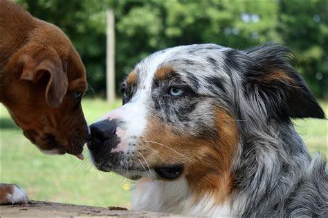 the longhaired boxer books boxer australian shepherd mix breeds picture