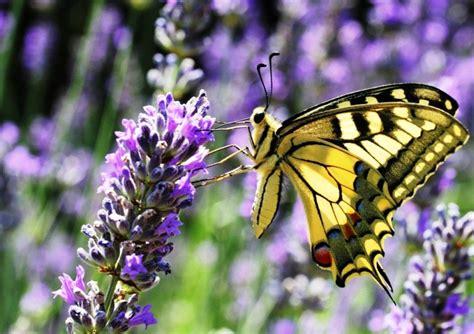 Wallpaper Bunga Dan Kupu Kupu | gambar bunga lavender dan kupu kupu pernik dunia