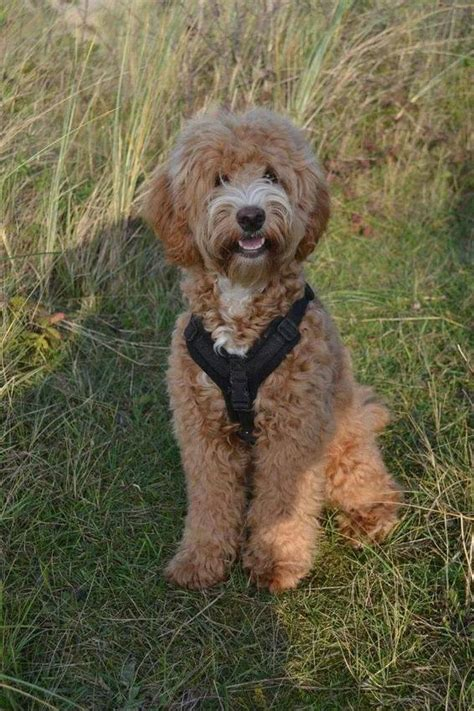 australian doodle club labradoodle hondenforum