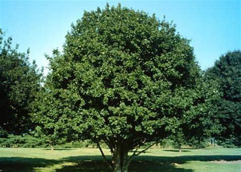 acer campestre hedge maple landscape ontario