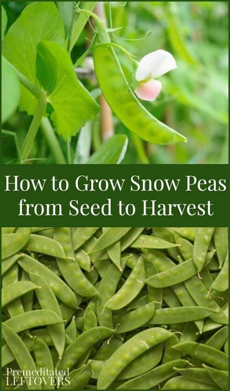 grow snow peas  seed  harvest  snow pea