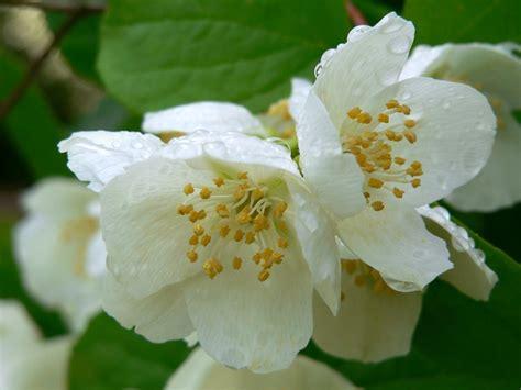 pianta con fiori bianchi molto profumati philadelphus coronarius arbusti vivaio zanelli