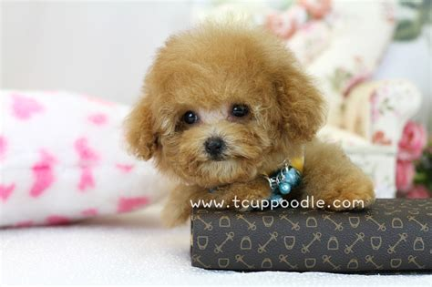 lifespan of teacup poodle teacup poodle how much dogs in our photo