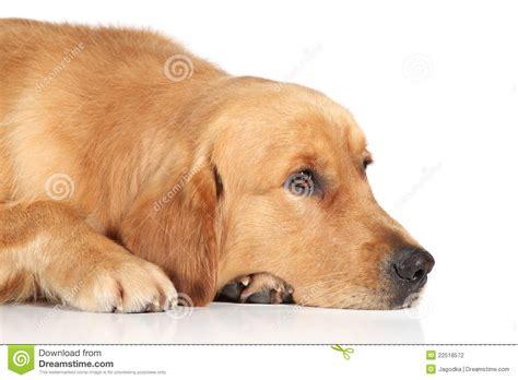 sad golden retriever puppy sad golden retriever lying on the floor stock photography image 22518572