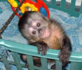 it s simply life capuchin monkey day 6