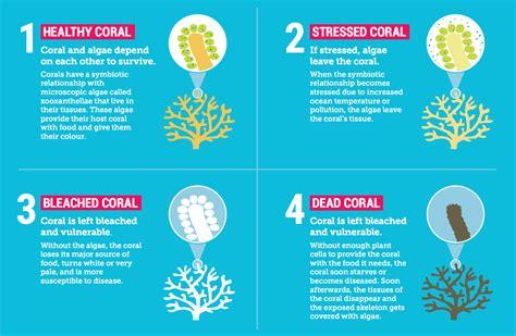 coral bleaching diagram back to back mass bleaching decimates australia s great