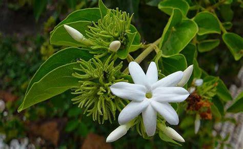 Pupuk Untuk Semua Jenis Bunga cara menanam bunga melati stek beserta gambar dan