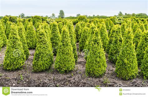cone buxus bushes in a specialized nursery in netherlands stock images image 31046054