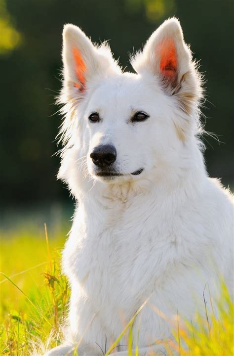 white german shepard puppy white shepherd