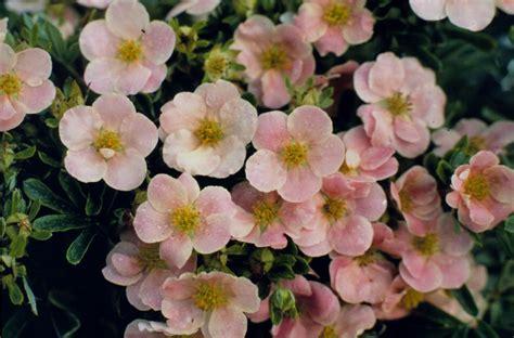 potentilla dasiphora fruiticosa pink beauty coloradohardyplants com