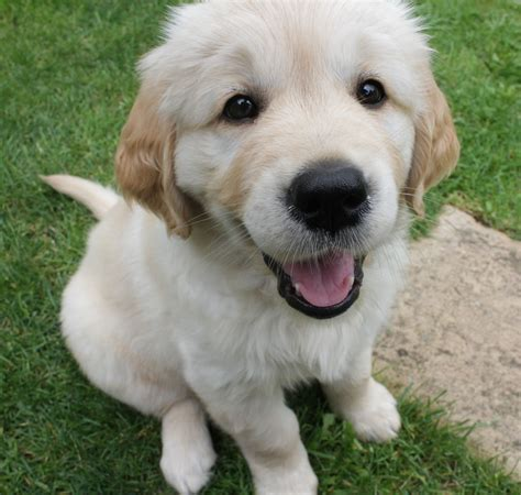 16 week golden retriever top 20 puppy pictures of september 2016