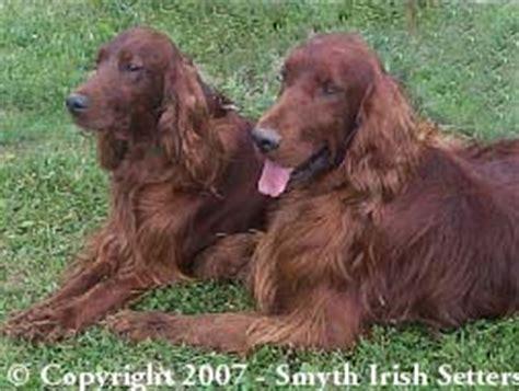 irish setter gun dogs for sale smyth irish setters breeders akc irish setter puppies