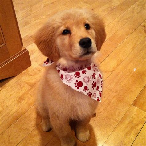 golden retriever handkerchief proof that literally no one wears handkerchiefs better than golden retrievers perros