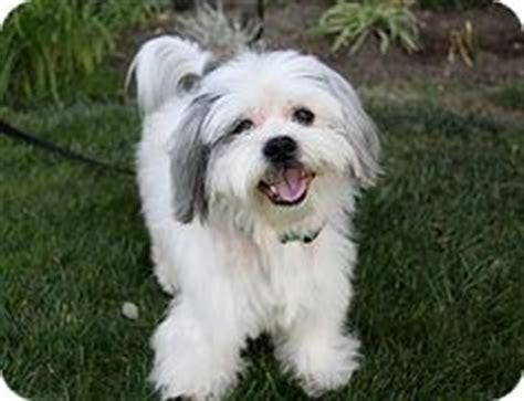west highland terrier cross shih tzu 1000 images about shih tzu westie on shih tzu mix shih tzu and white