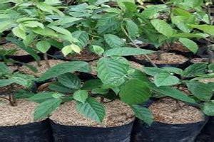 Pupuk Untuk Bunga Kenanga 7 cara menanam bunga kenanga dan perawatannya