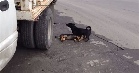 dogs are loyal up friend loyal tries desperately to revive his companion after he is