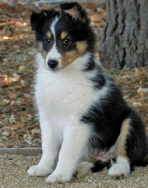 sheepdog puppies the shetland sheepdog puppies daily puppy