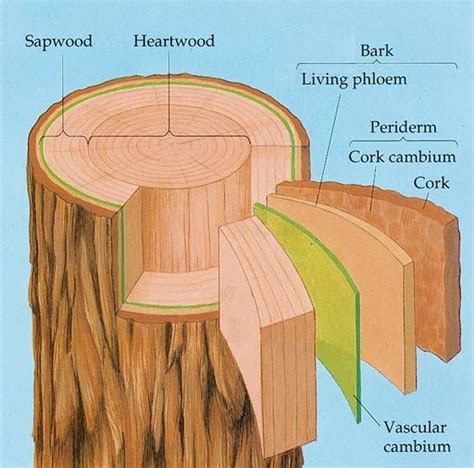 cross section of a tree the gallery for gt dug squirrel