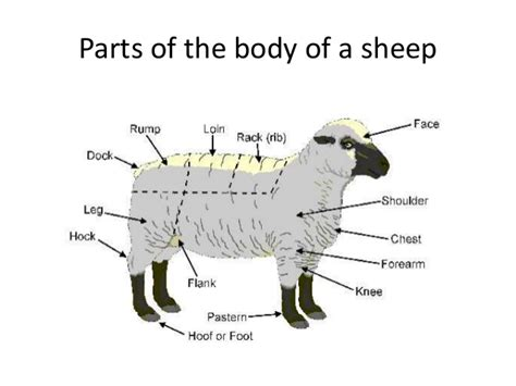 breeds and their personalities different breeds of sheep and their characteristics
