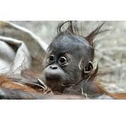 Monkey Baby HD Wallpaper Background  Download Hd