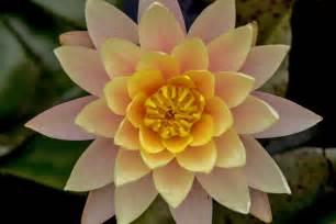 flower blooming the lotus is blooming in echo park lake l a weekly