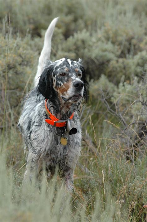 english setter gun dog english setter animal love pinterest