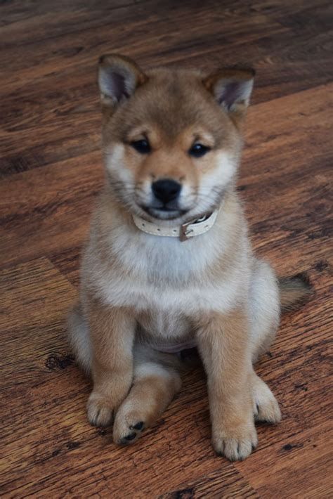 shiba inu puppy for sale japanese shiba inu puppies for sale newcastle lyme staffordshire pets4homes