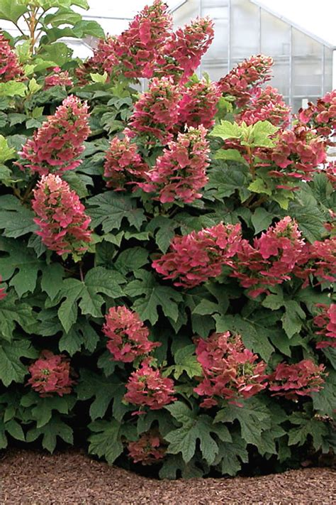 ruby slippers oakleaf hydrangea buy ruby slippers oakleaf hydrangea for sale