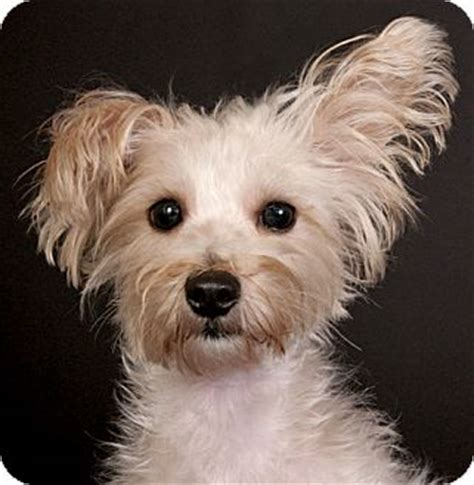 maltese yorkie mix puppies adoption chicago il maltese yorkie terrier mix meet kelty a for adoption