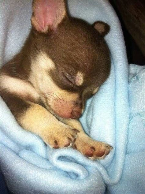 baby chihuahua puppies 551 best chihuahuas images on chihuahua dogs doggies and chihuahuas