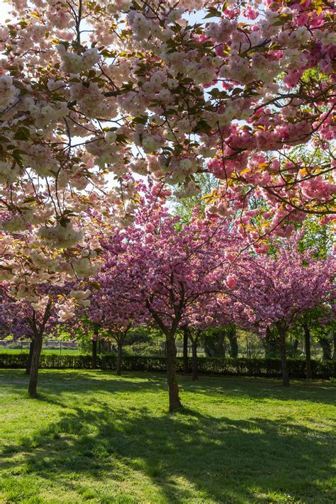 cherry tree types of flowering cherry trees