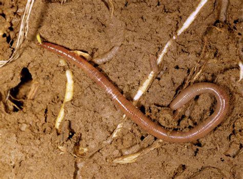 klasifikasi cacing tanah cacing tanah