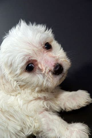 free maltese puppies cheap and free maltese puppies