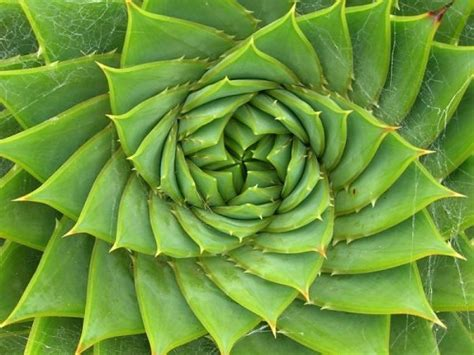 golden section in nature fibonacci in nature aetherforce