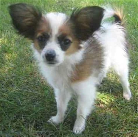 Do Papillons Shed by Puppies Pictures