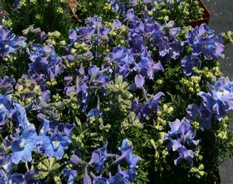 delphinium summer lite blue favorites  color beds