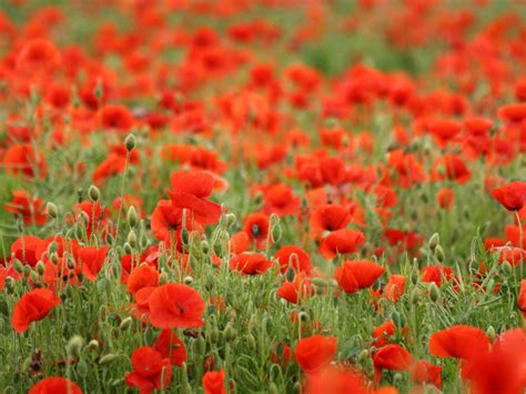 free wallpapers poppies flowers wallpaper free download