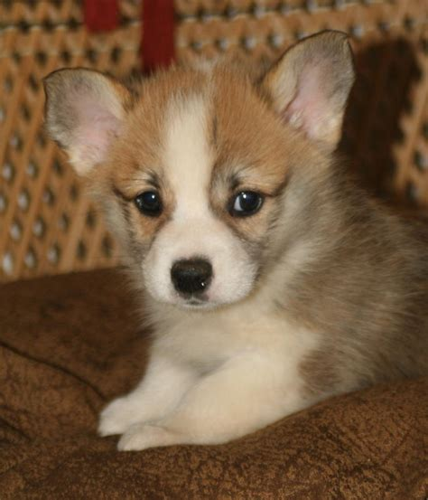 mud puppies for sale noble hearts pembroke corgi breeder puppies for sale
