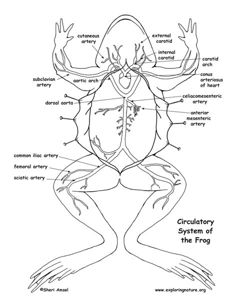 diagrams of frogs frog circulatory system diagram and labeling