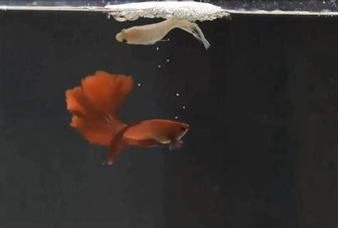 cara ternak ikan cupang tanpa diberi pakan hingga usia