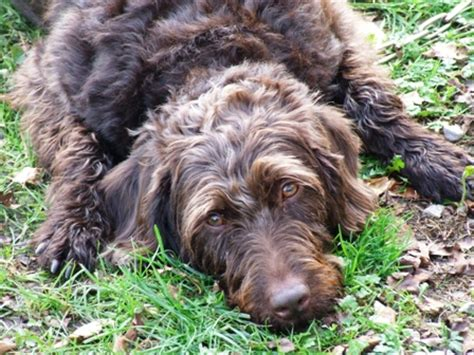 Labradoodle Do They Shed by Labradoodle Resorces Care