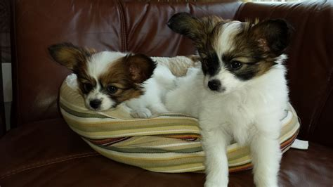 papillon puppies for sale papillon puppies for sale bournemouth dorset pets4homes