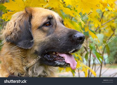 big friendly dogs leonberger is a big friendly stock photo 692826
