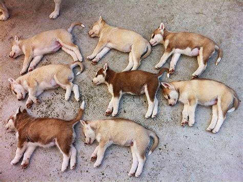 how to potty a husky puppy siberian husky obedience tips potty