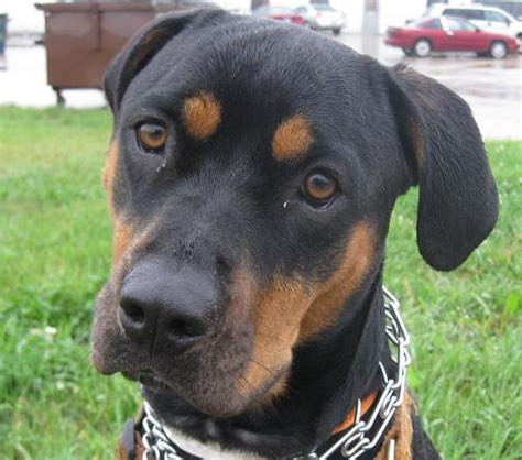 rottweilers and pitbulls rottweiler pitbull mix with picture allmutt