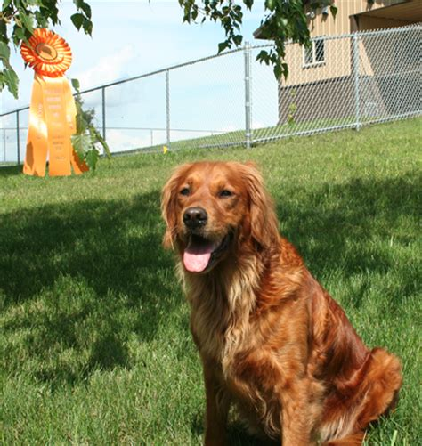 golden retriever puppies mn wi thunderstruck retrievers golden retriever puppies in minnesota golden retriever