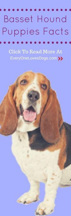 how much are basset hound puppies basset hound puppies