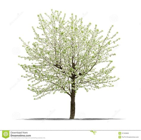 white or green tree green tree on a white background royalty free stock images