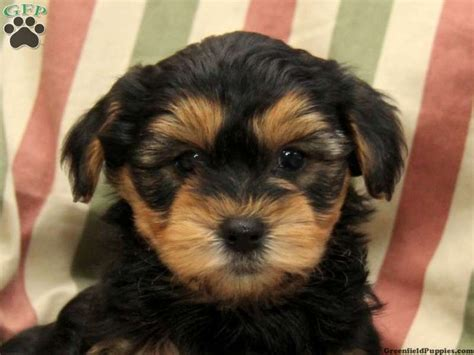yorkie pups for sale in pa 9 best images about yorker poo s on poodles puppys and yorkie