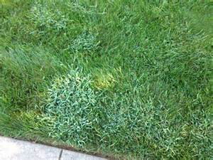 what is crabgrass and how to stop it